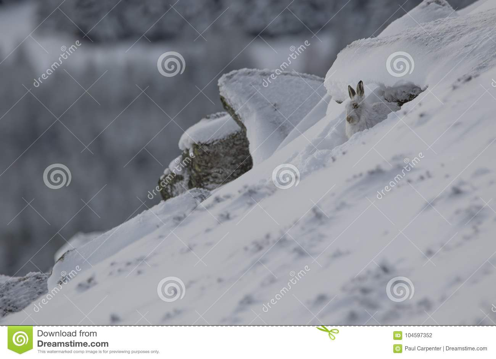 Lebre da montanha, timidus do Lepus, fim acima do retrato ao sentar-se, colocando na neve durante o inverno no revestimento do in