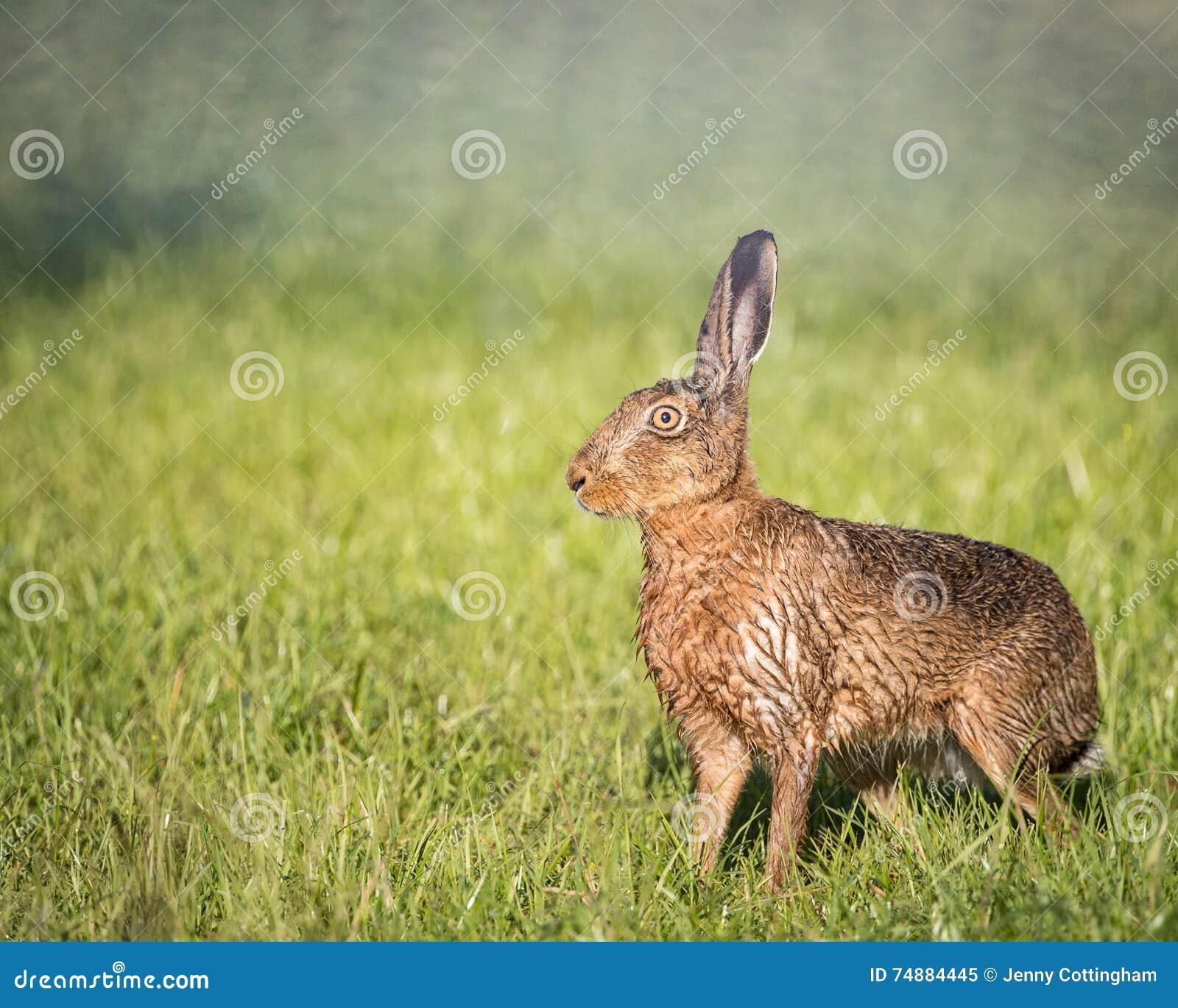 A lebre de Brown no campo, alerta, molhou do banho na poça (o europaeus do Lepus)