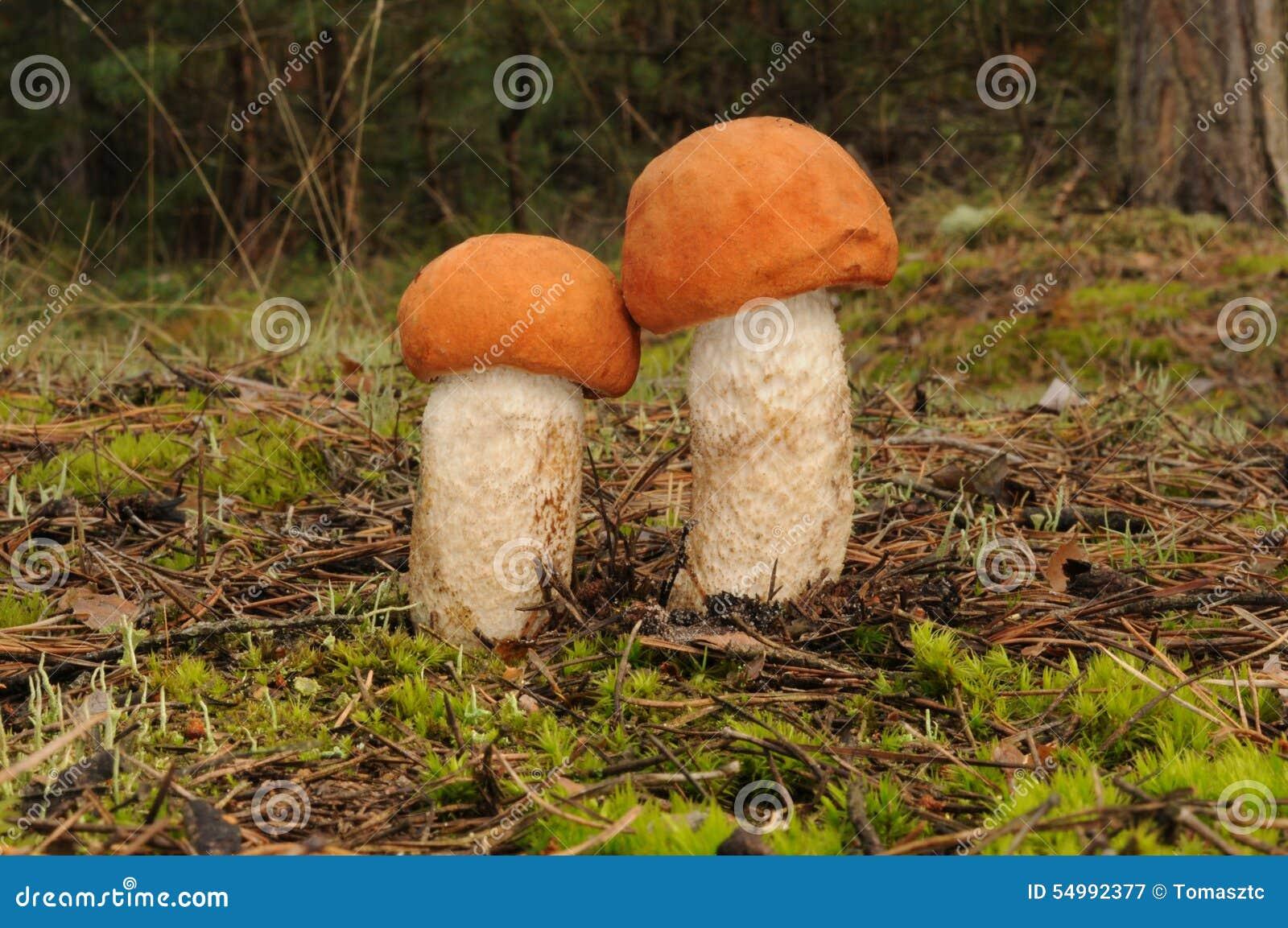 Leccinum aurantiacum fungus