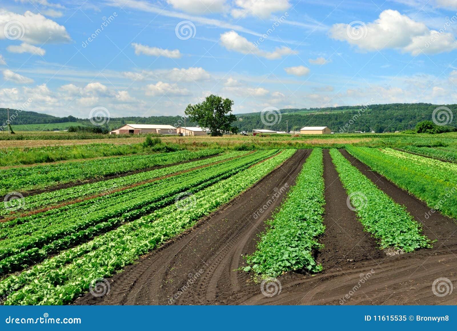 Lechuga e hierbas