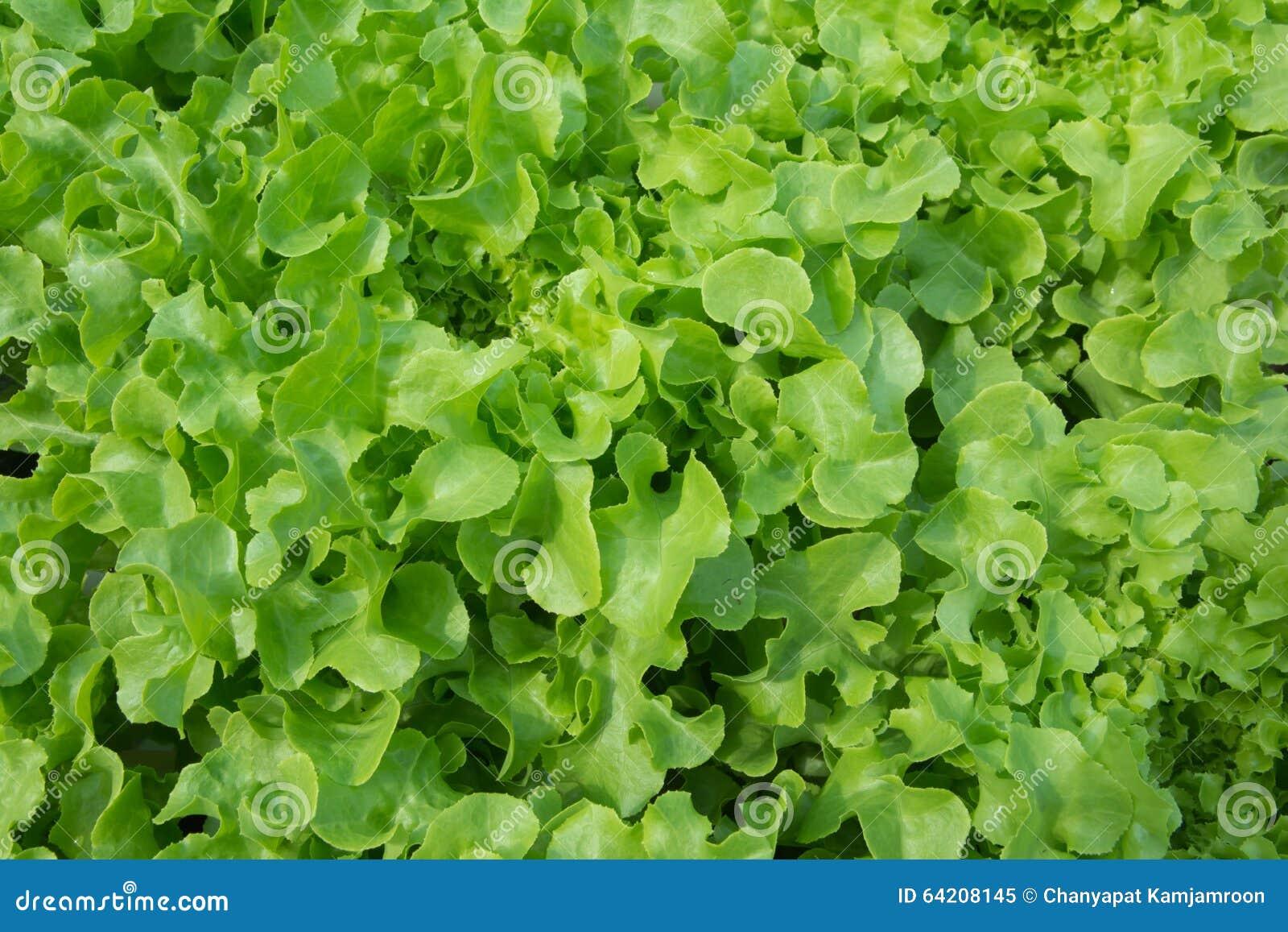 Lechuga producida con métodos orgánicos