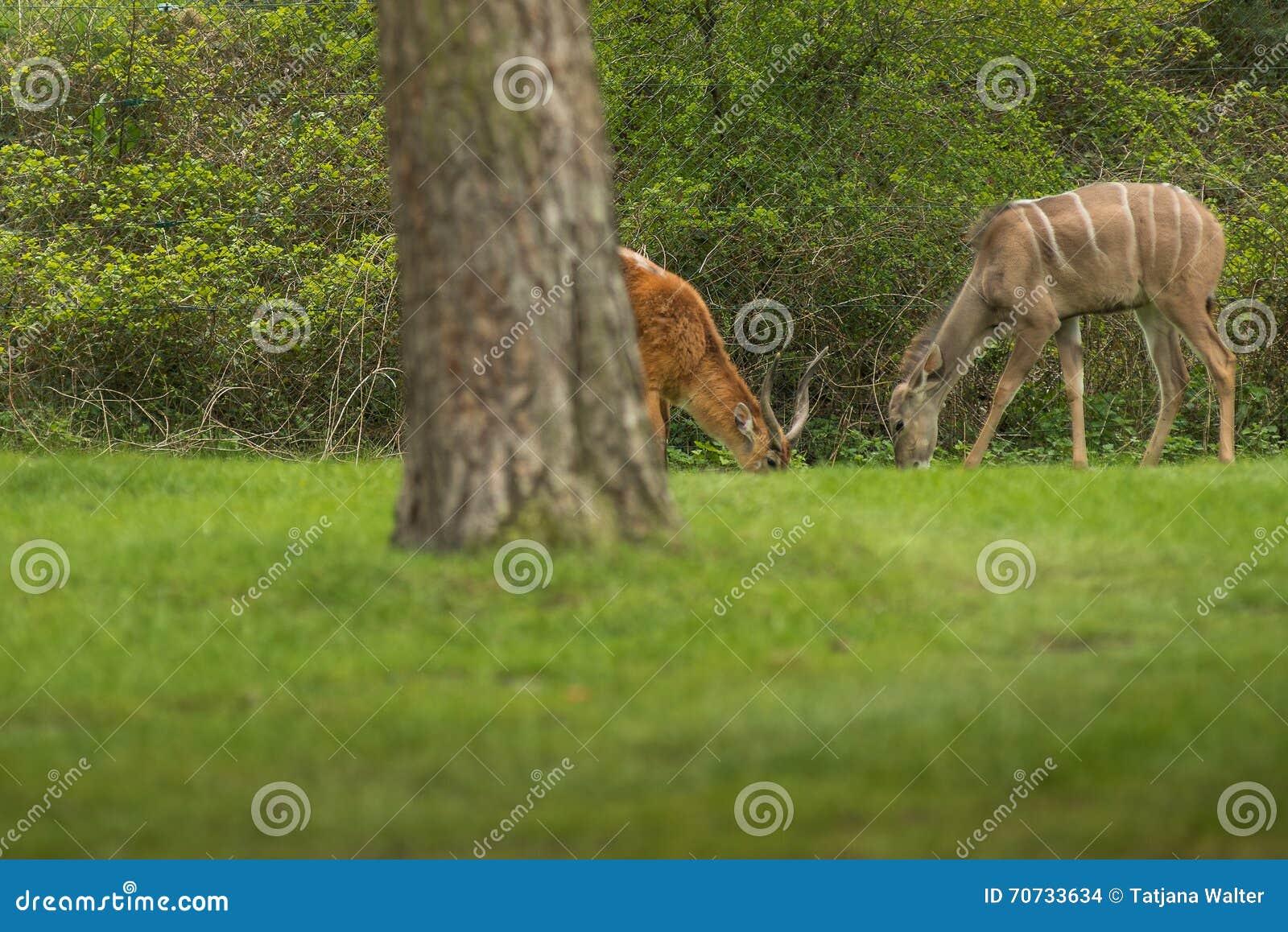 Lechwe (水羚属leche)是类waterbuck的羚羊