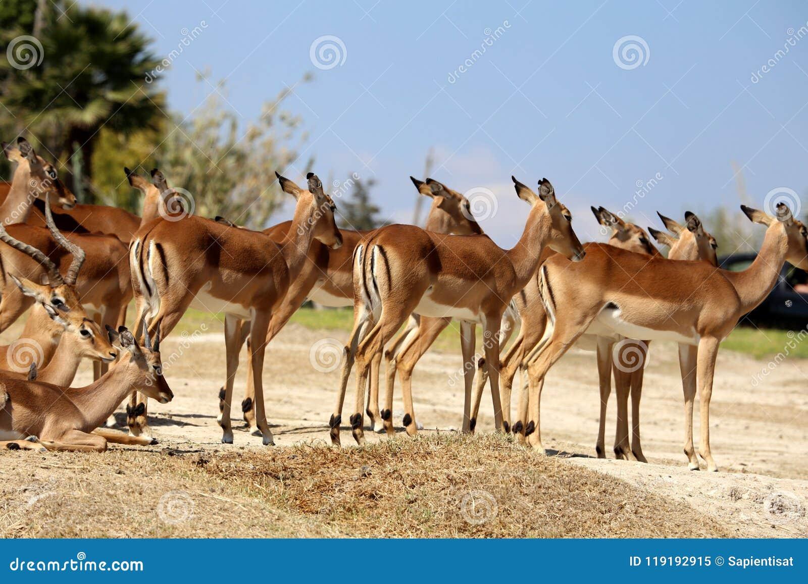 Lechwe do Antilope ou leche do Kobus