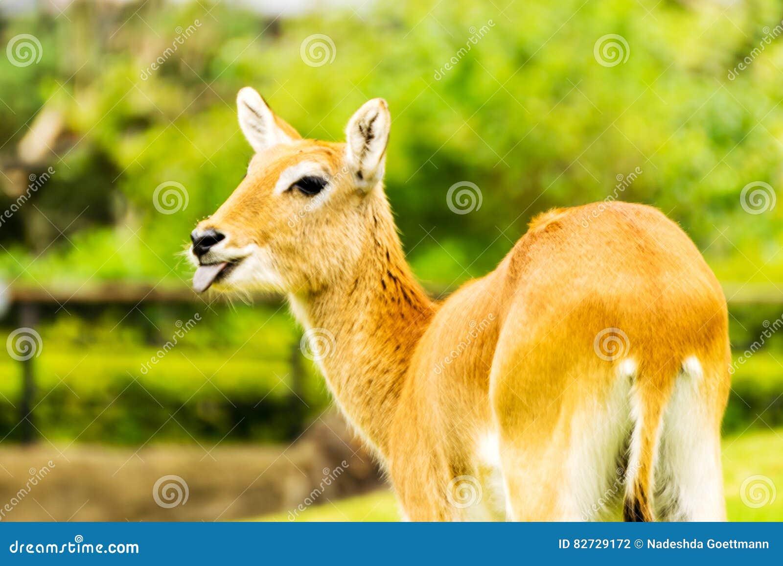 Lechwe fêmea bonito Leche do Kobus