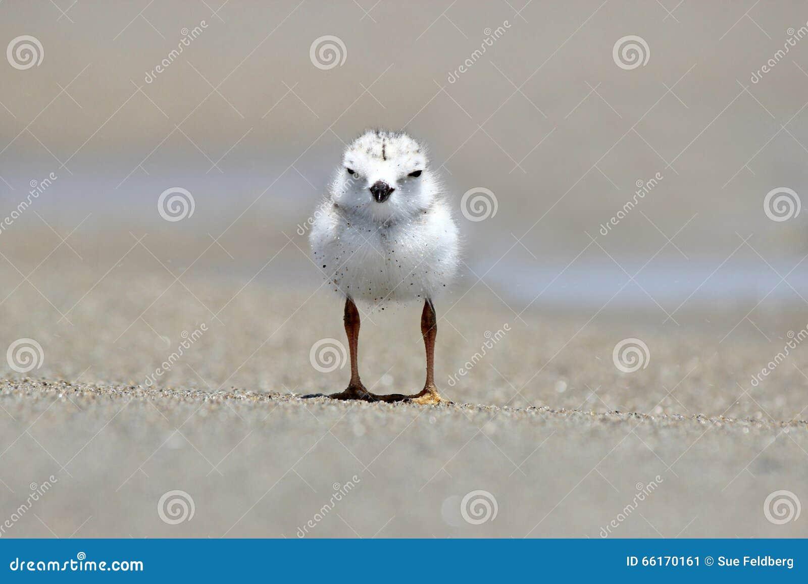 Leda i rör brockfågelfågelungen