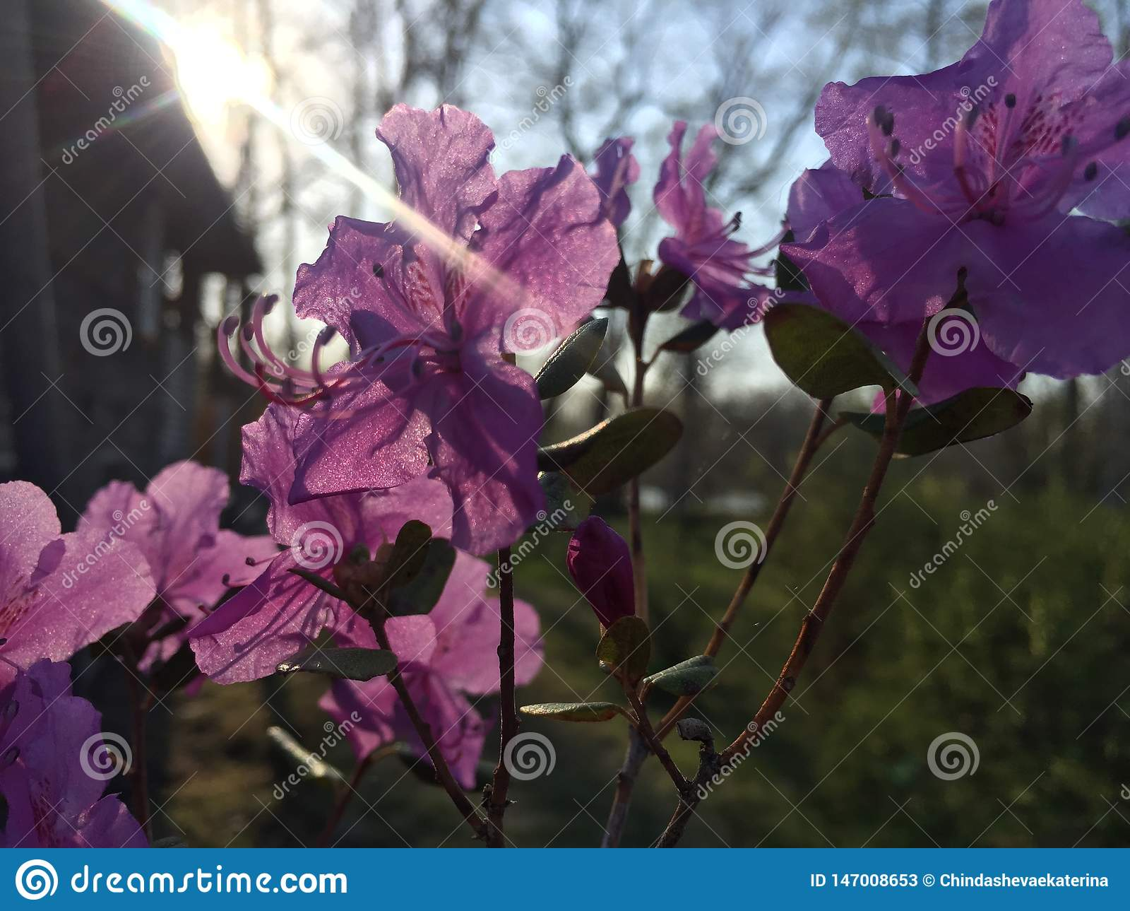 Ledebourii Altai Maralthai do rododendro ou Siberian Labrador nos raios do sol de ajuste