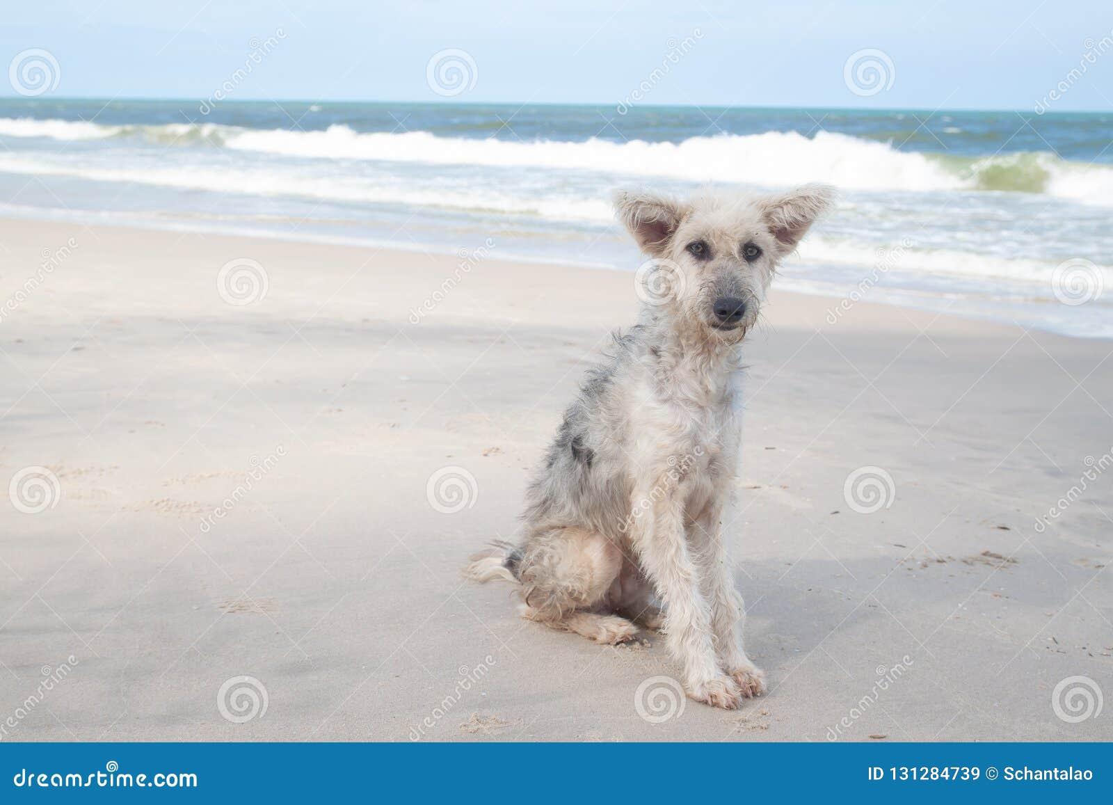 Ledsen framsidahund som sitter på stranden