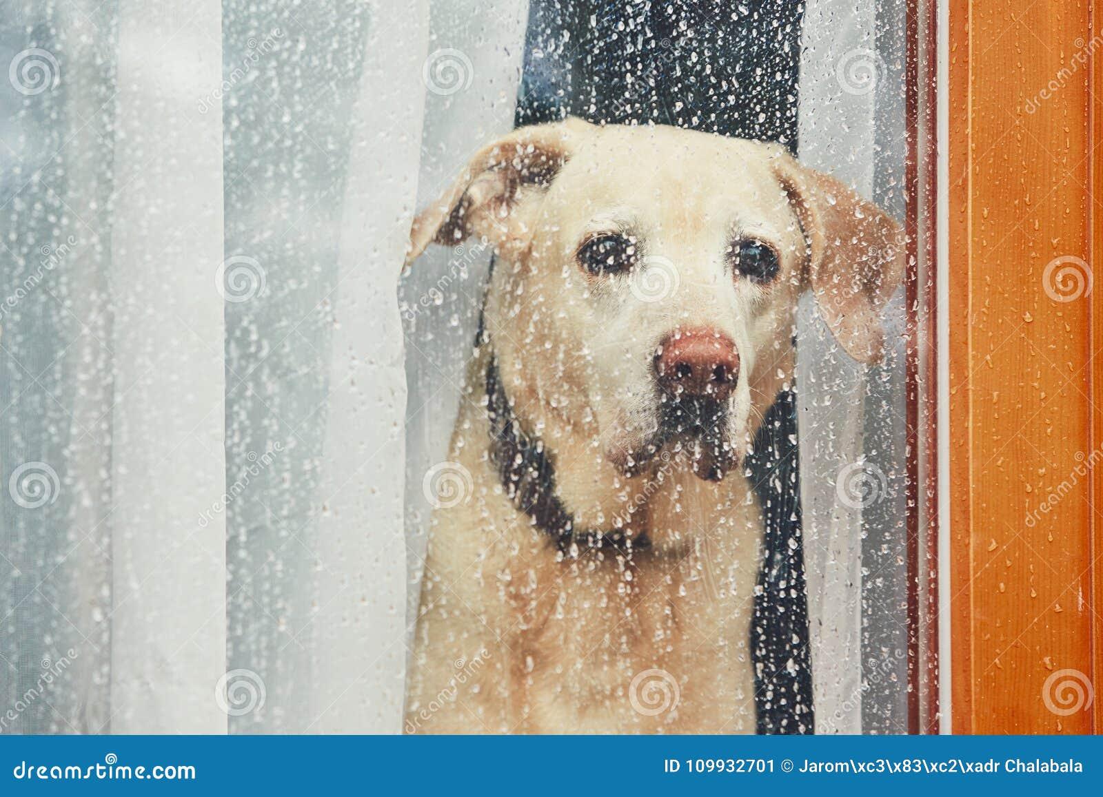 Ledsen hund som bara hemma väntar
