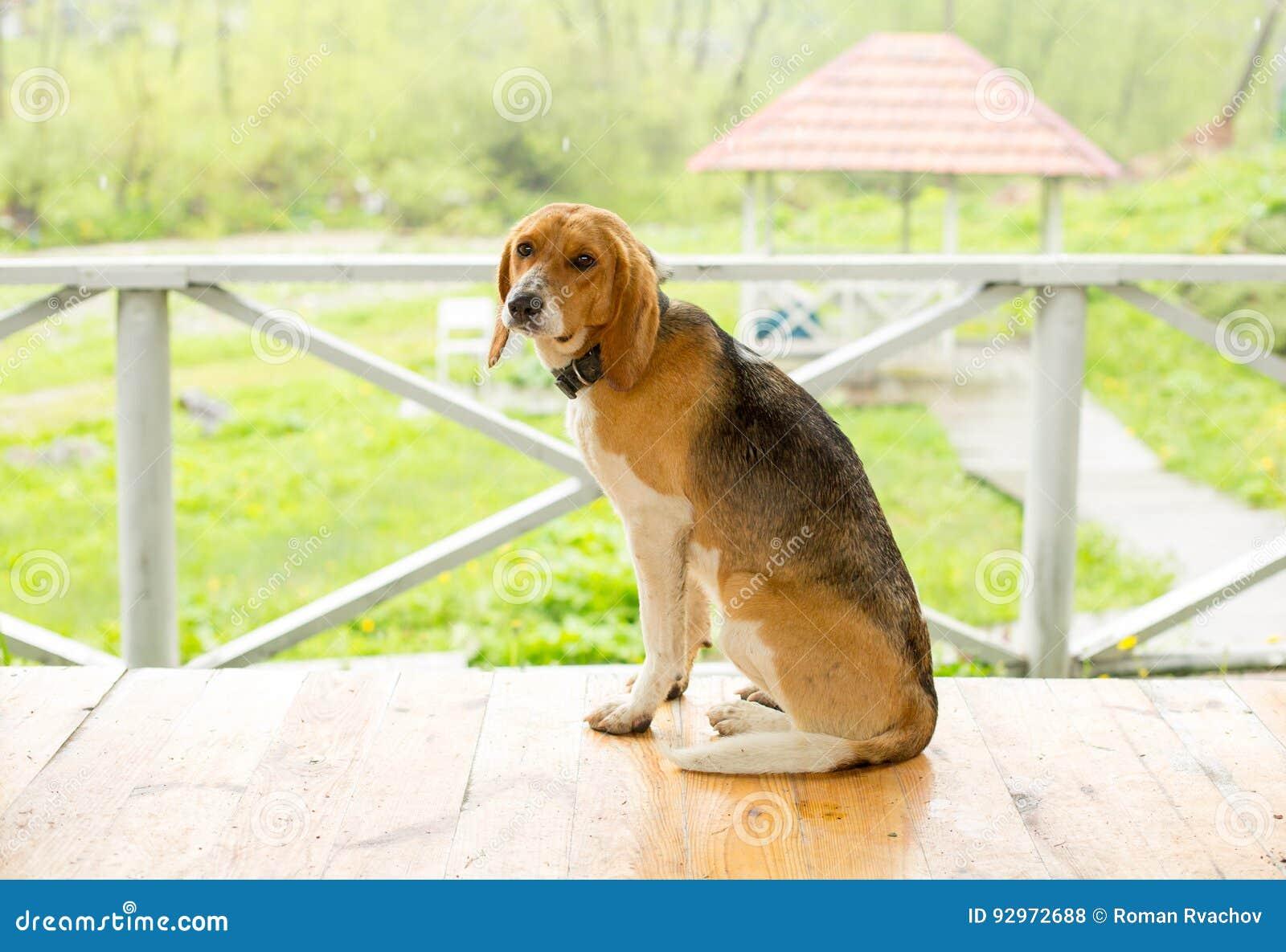 Ledsen hund som bara sitter på golvet