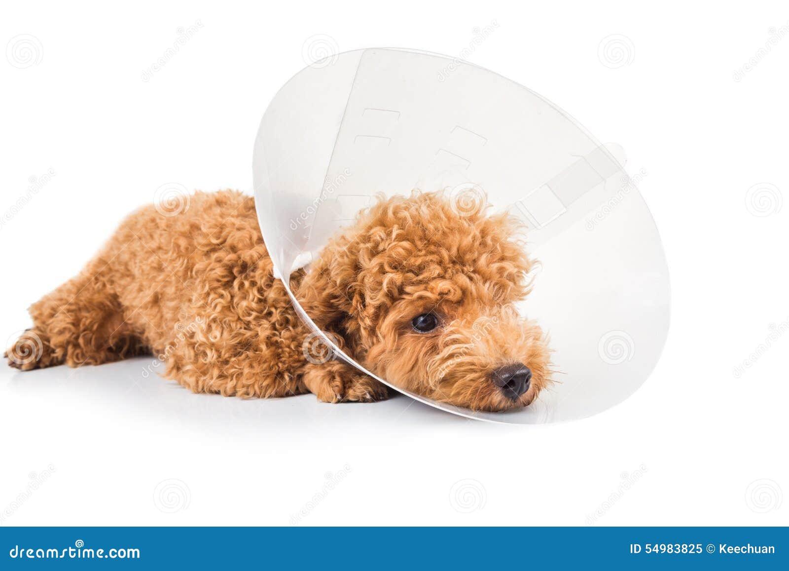 Ledsen pudelhund som bär den skyddande kottekragen på hennes hals