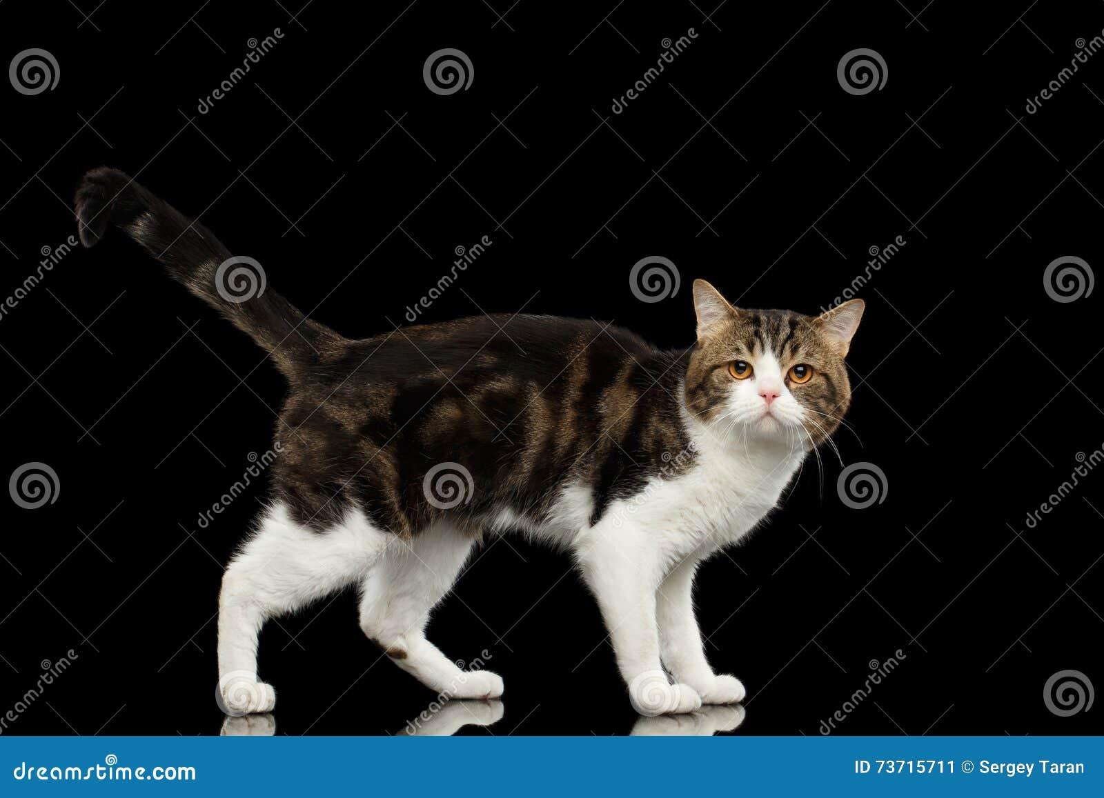 Ledsna vita skotska raka Cat Standing i svart bakgrund