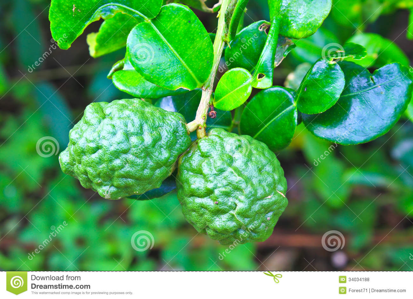 Leech Lime Or Bergamot Fruits On Tree Royalty Free Stock ... Leeches Fruit Tree