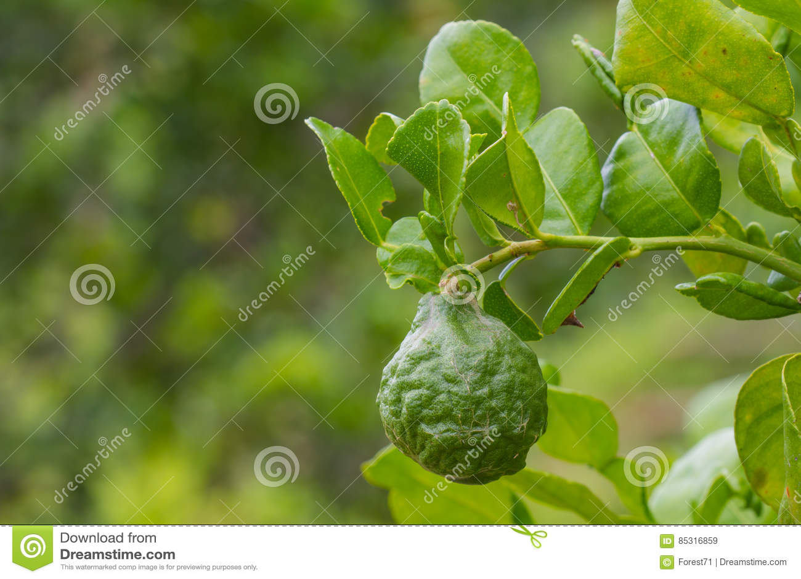 Leech Lime Tree Stock Photography   CartoonDealer.com ... Leeches Fruit Tree