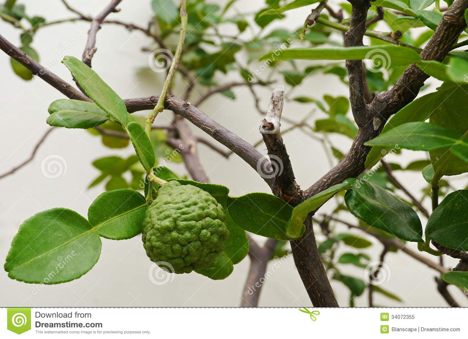 Leech Lime Or Bergamot Fruits On Tree Stock Image - Image ... Leeches Fruit Tree