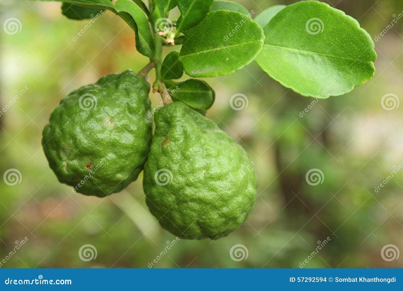 Leech Lime On The Tree Stock Photo - Image: 57292594 Leeches Fruit Tree