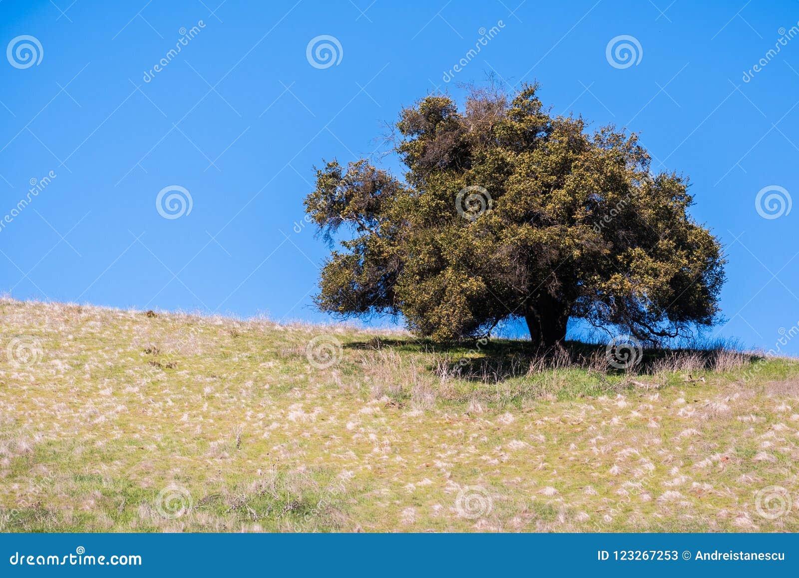 Leef eiken boom op een heuvel
