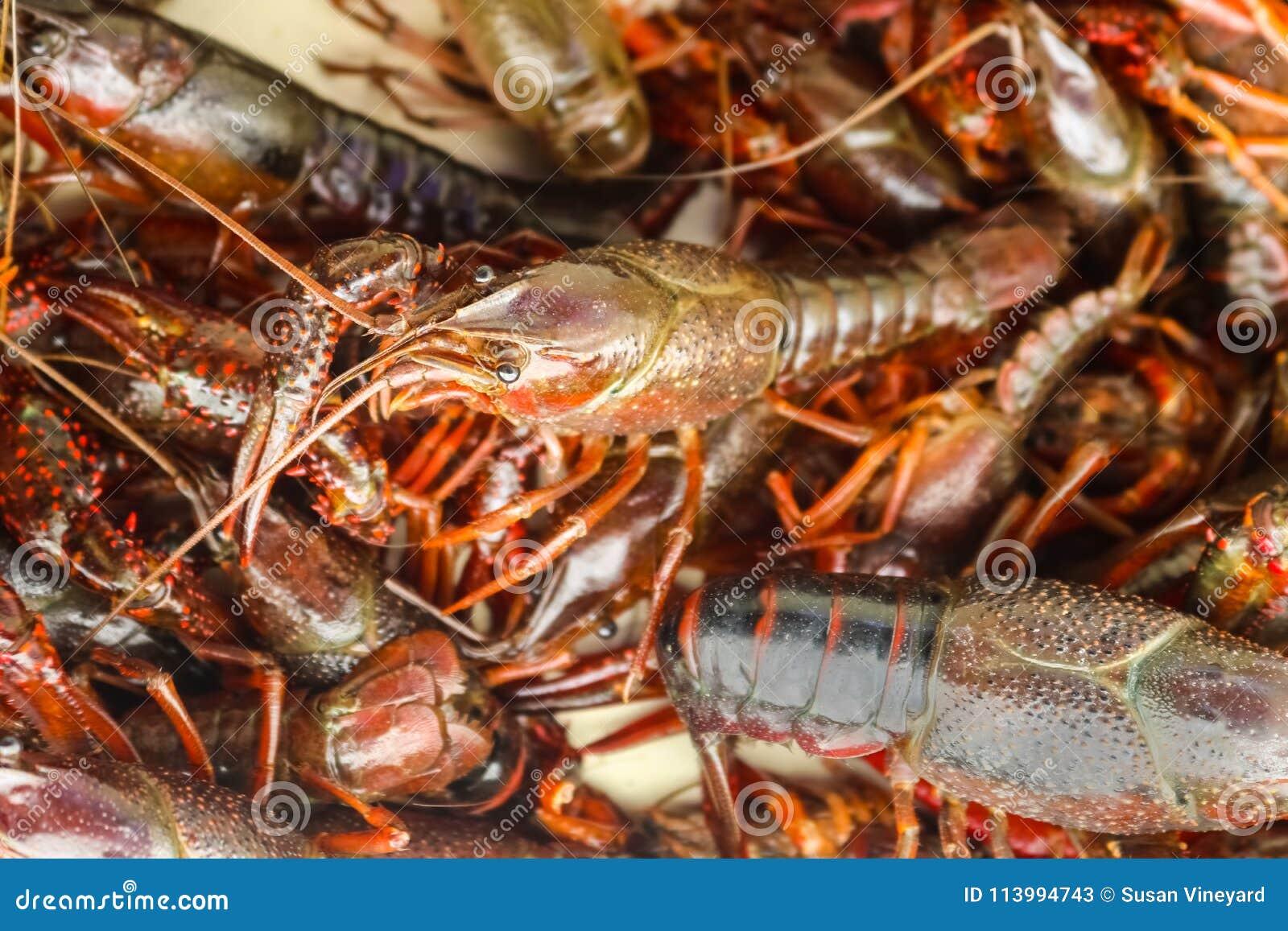Leef rivierkreeften of rivierkreeften of crawdad in een stapel klaar om bij een rivierkreeft worden gekookt kook