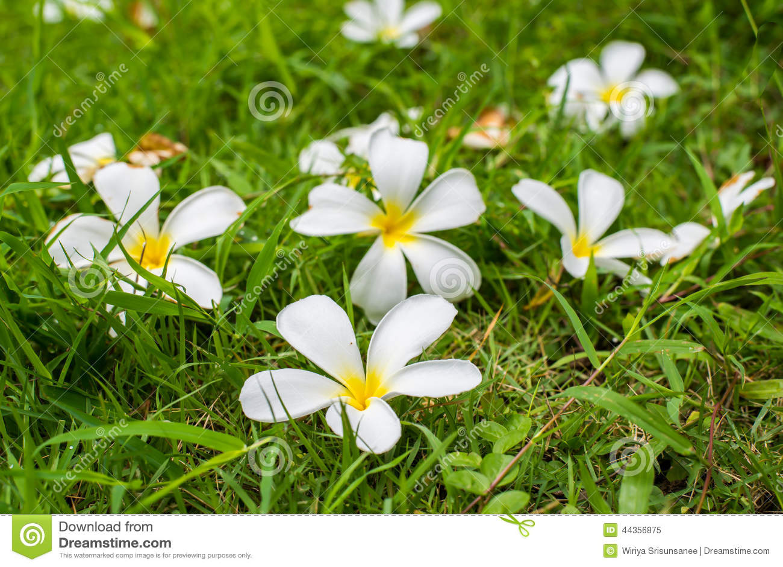 Leelavadee, plumeria, fiore tropicale su erba