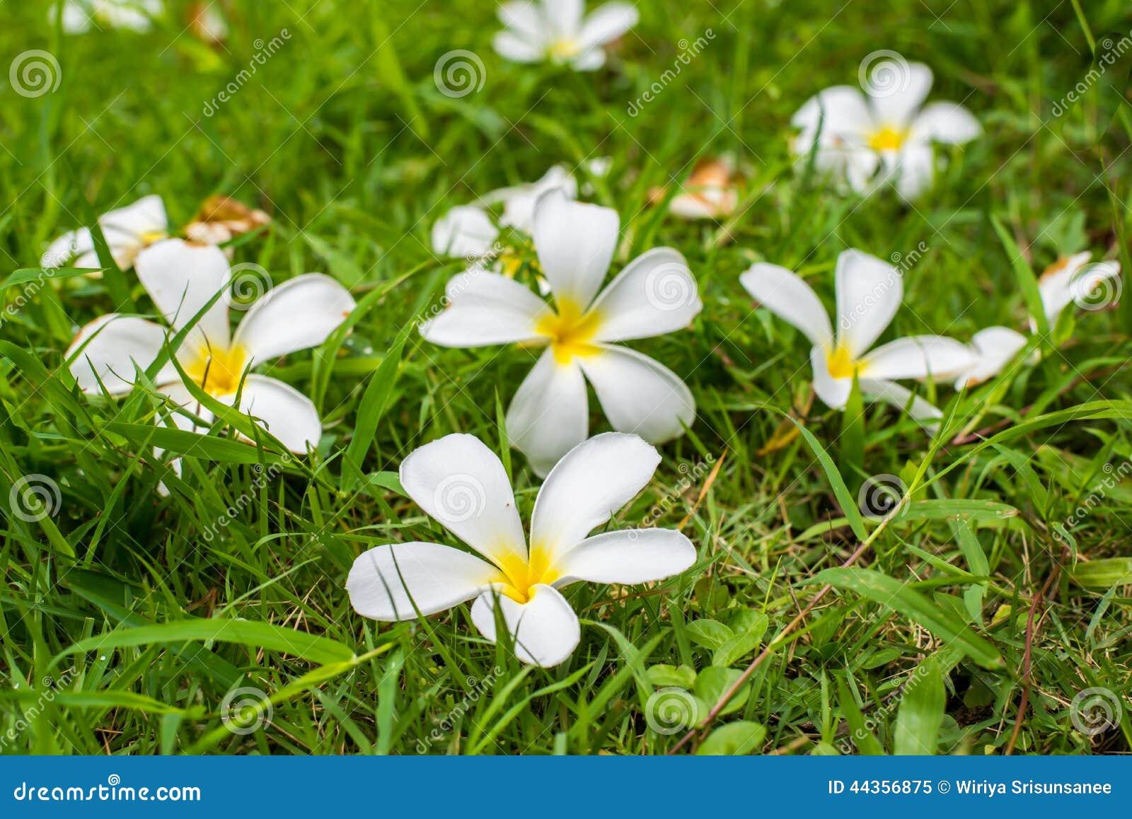 Leelavadee, Plumeria, flor tropical na grama