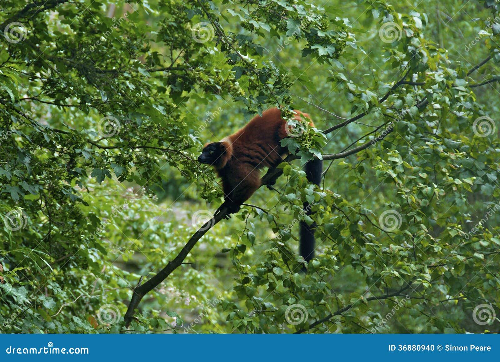 Download Leema rosso fotografia stock. Immagine di cuddly, selva - 36880940