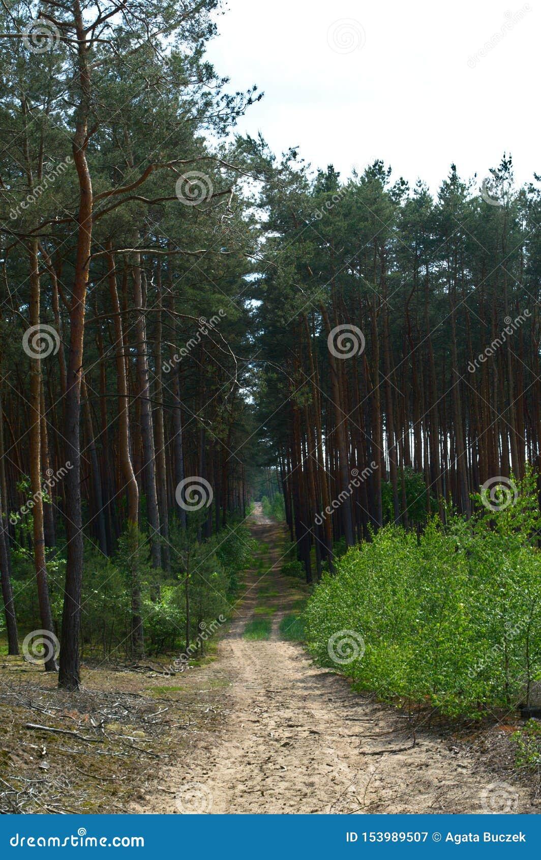 Leerer Erdweg in einem Kiefernwald