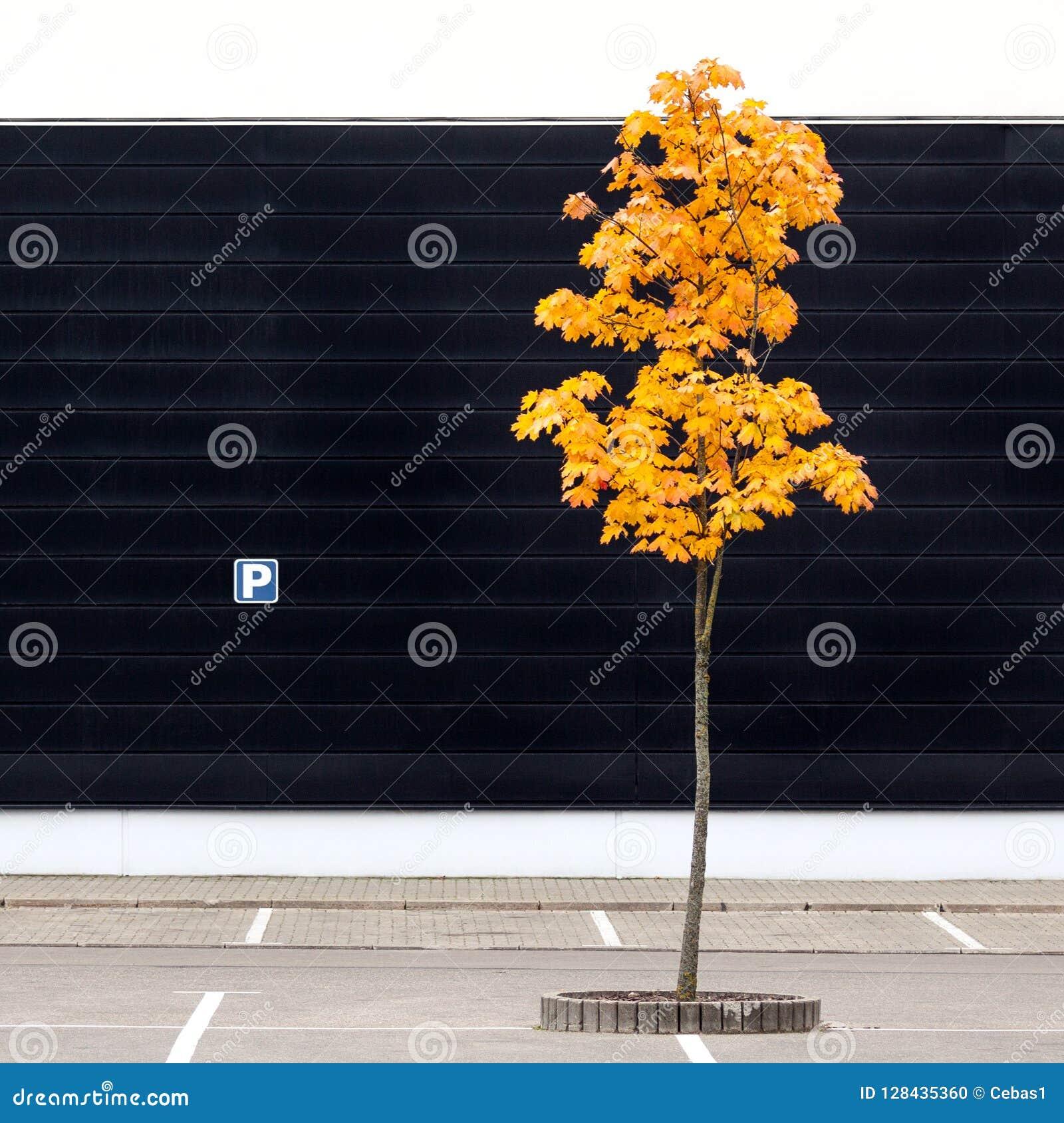 Leerer Parkplatz mit einsamem jungem Ahornbaum im Herbst