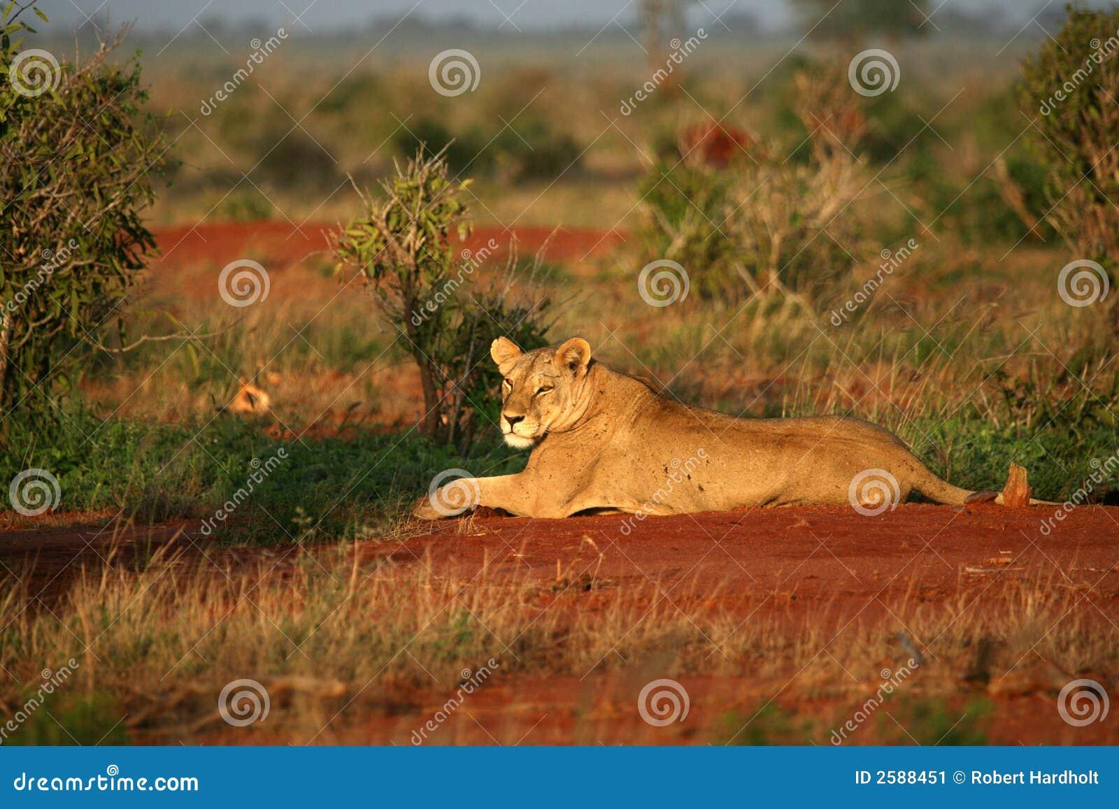 Leeuw in de ochtendzon