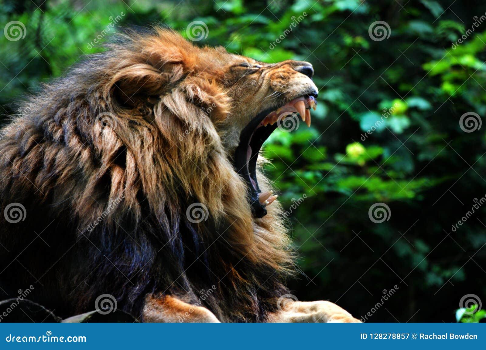 Leeuw geeuwdartmoor Dierentuin