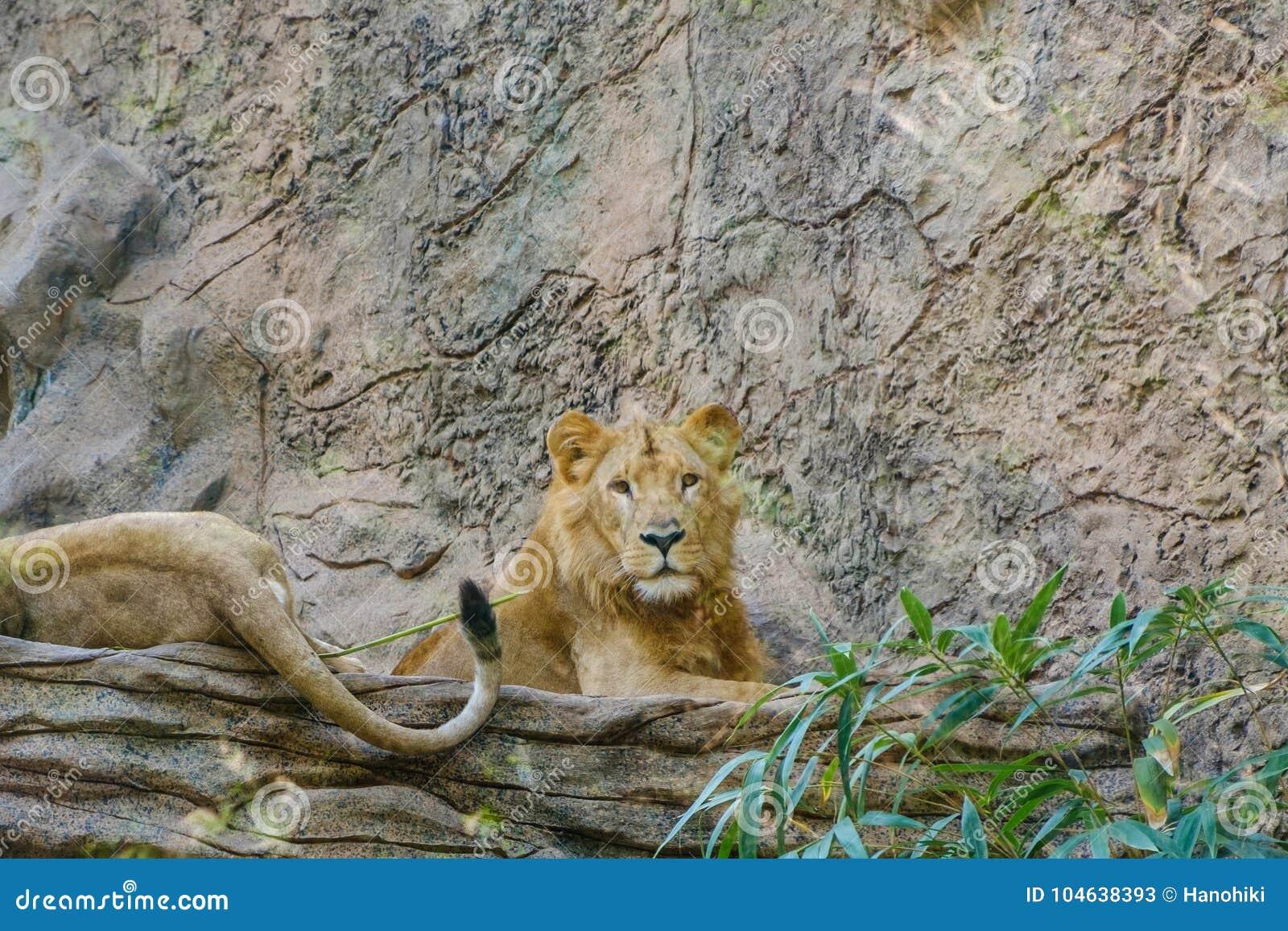 Download Leeuw, Groep Leeuwen Die Op Steen Leggen Stock Afbeelding - Afbeelding bestaande uit schoonheid, lying: 104638393