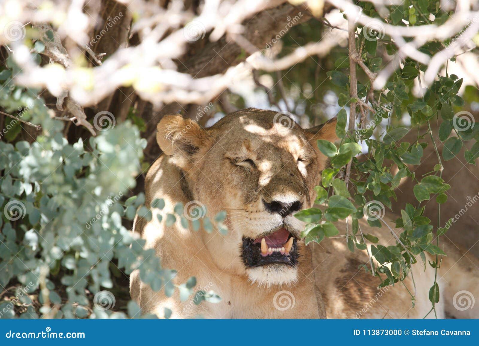 Leeuw in het Nationale Park van Ruaha, Tanzania
