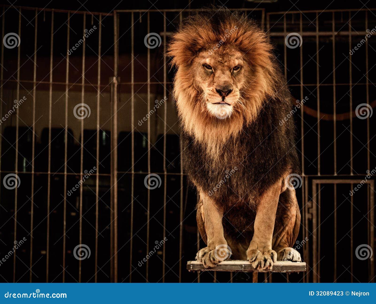 Leeuw op arena