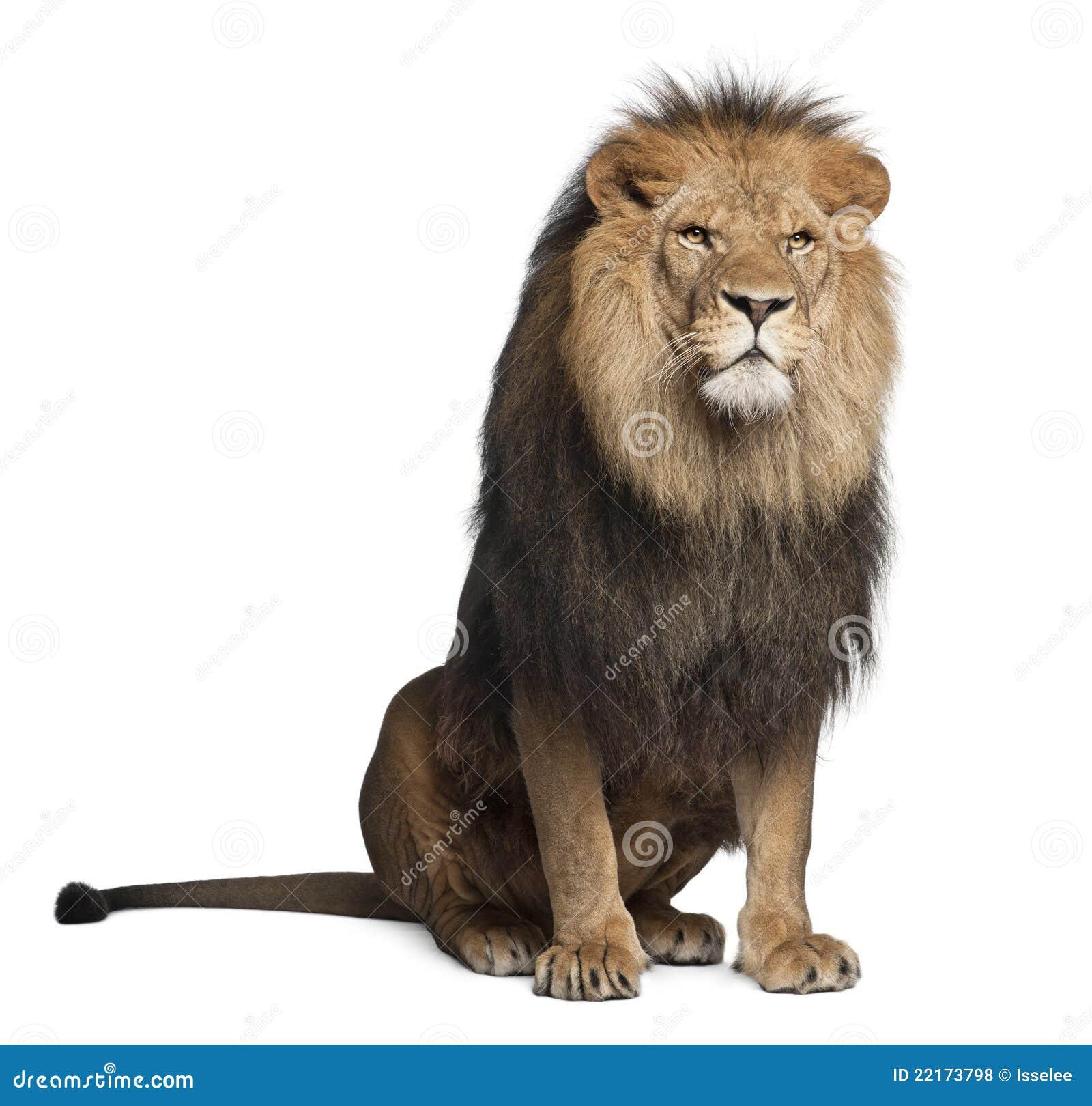 Leeuw, Panthera leo, 8 jaar oud, het zitten