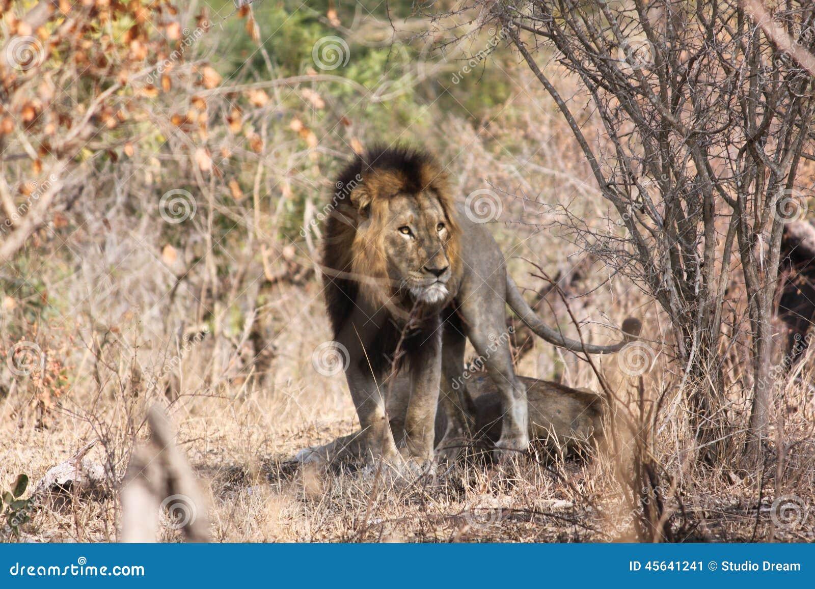 Leeuw in struikgewas