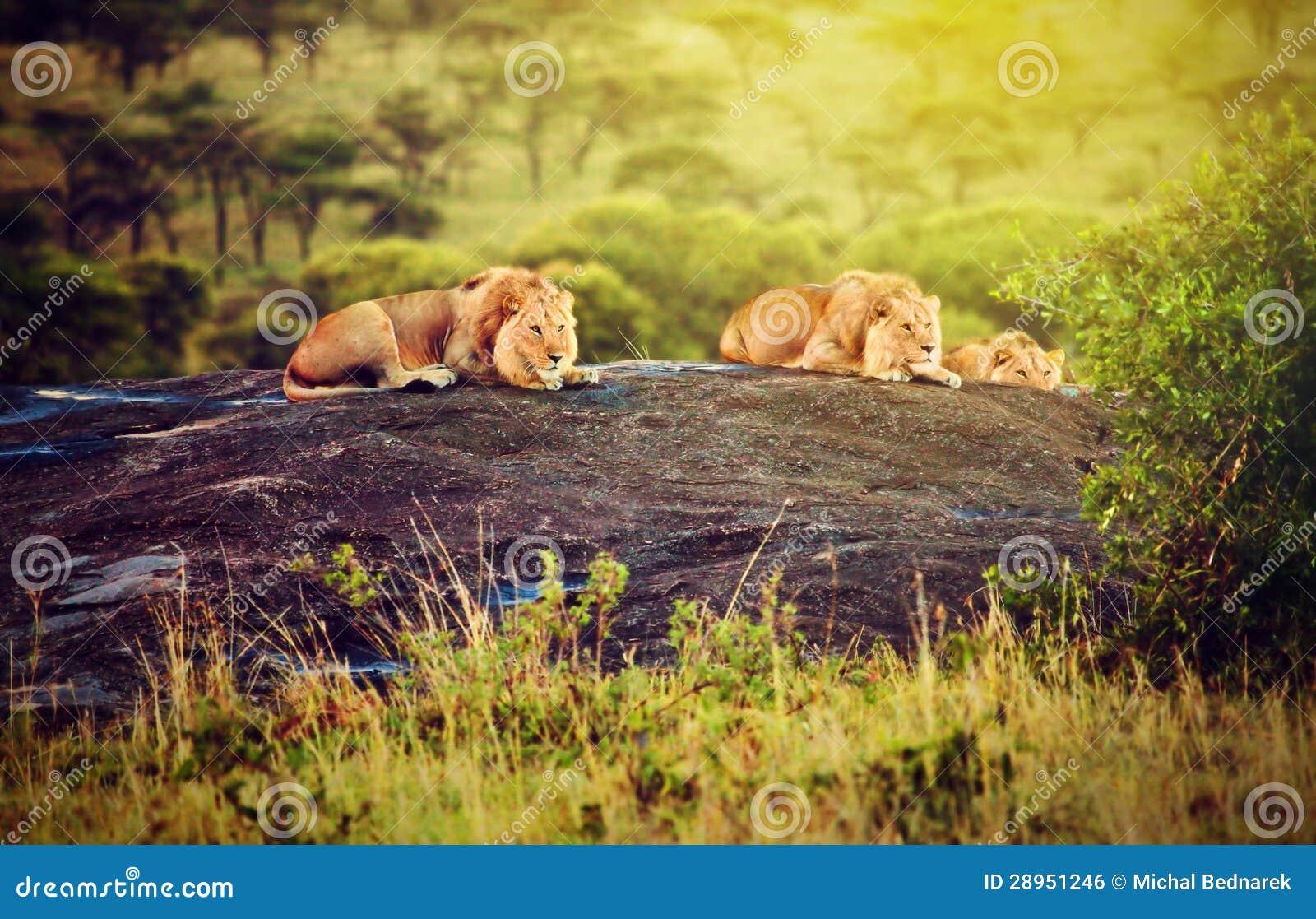 Leeuwen op rotsen op savanne bij zonsondergang. Safari in Serengeti, Tanzania, Afrika