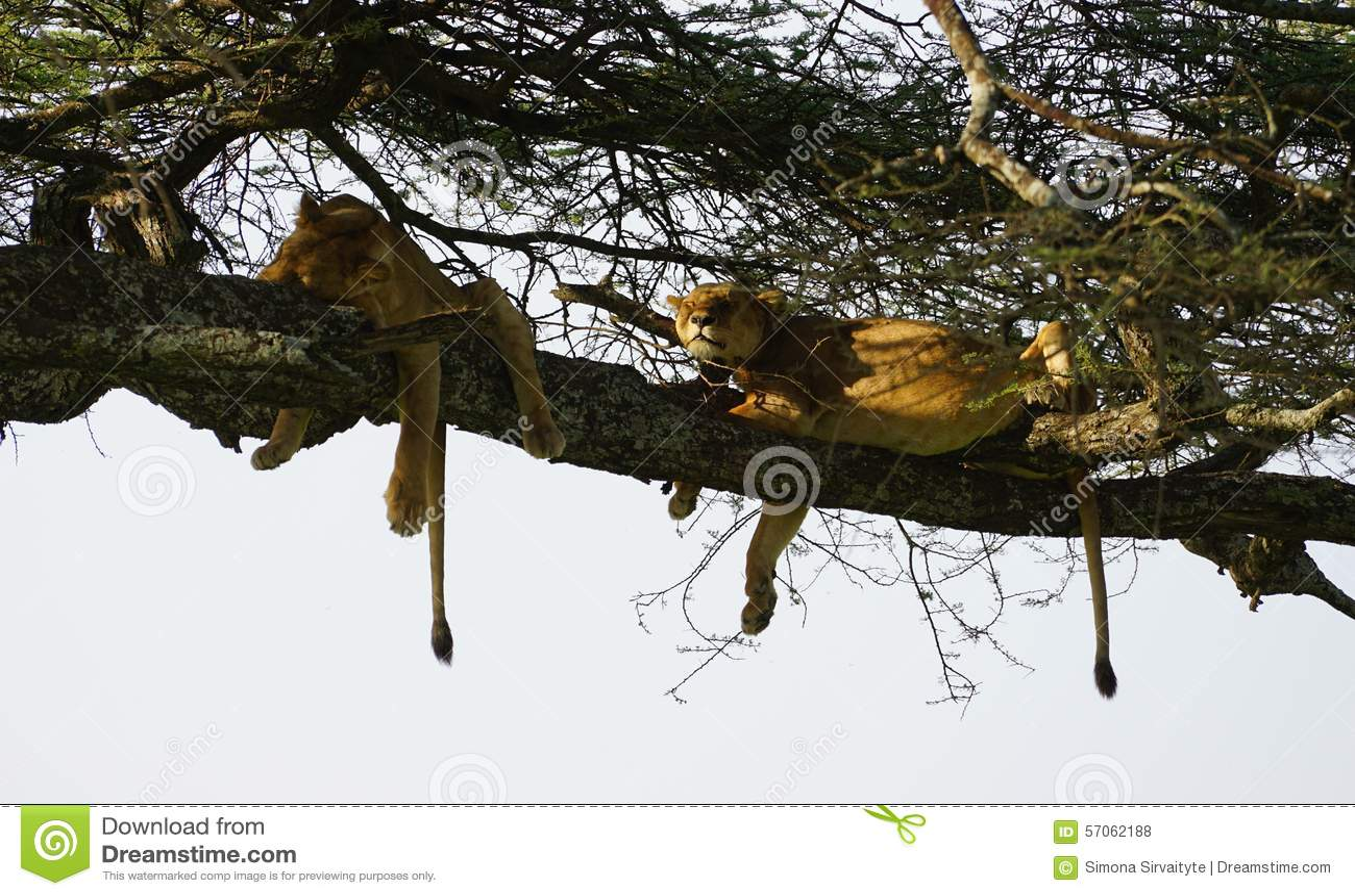 Leeuwen in Serengeti, Tanzania