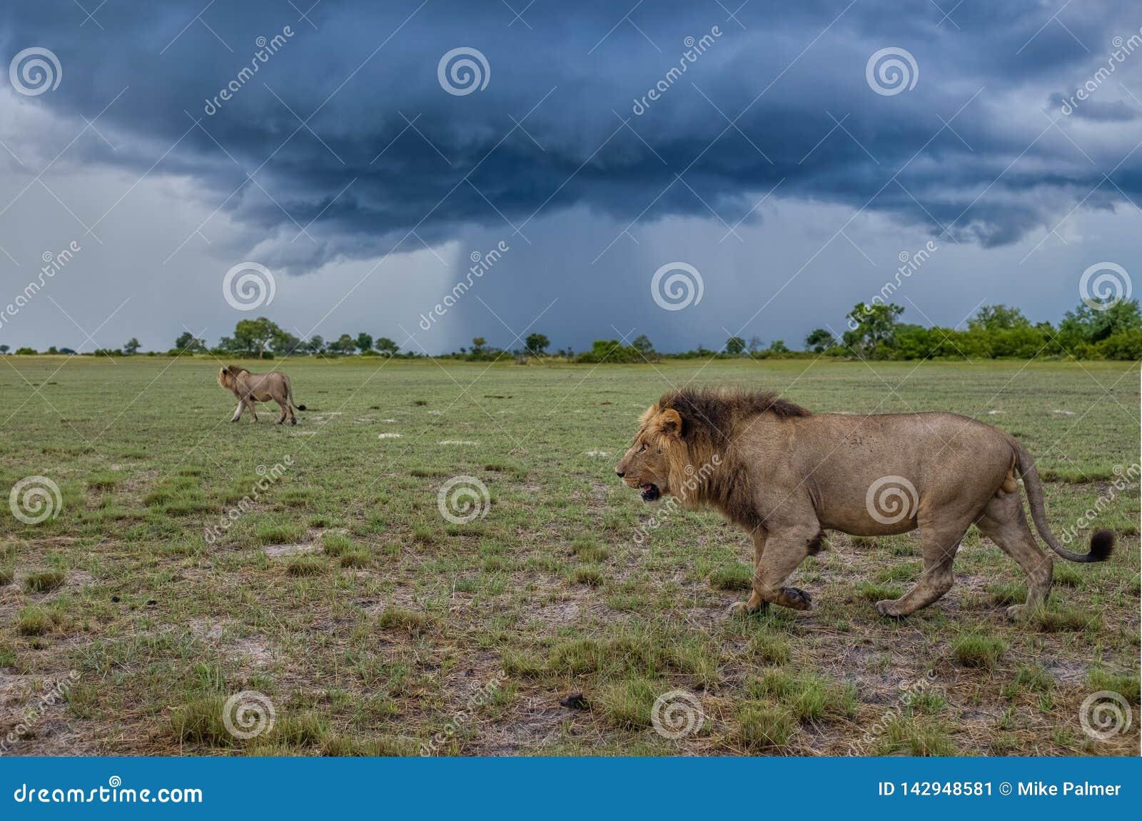 Leeuwen van het Onweer