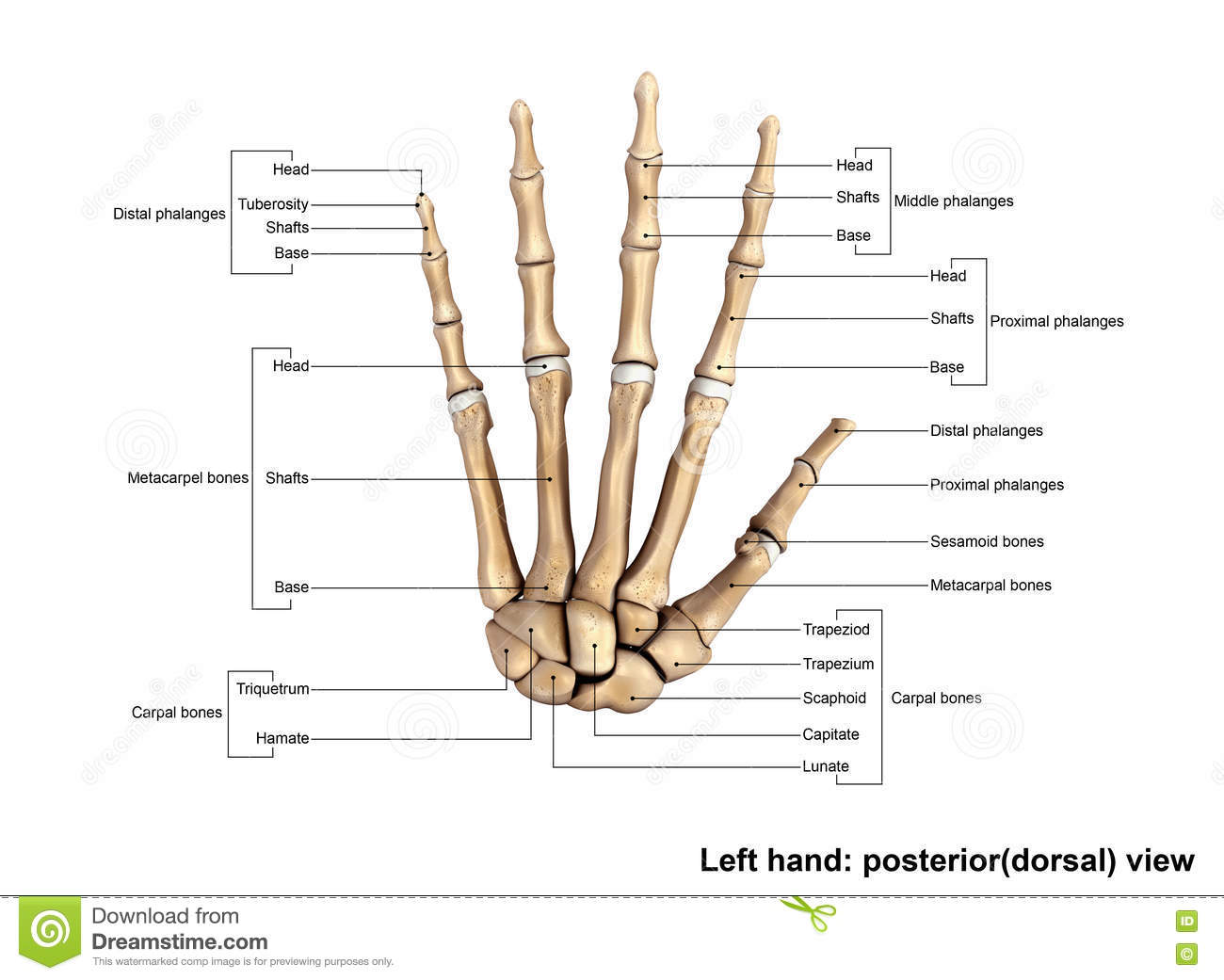 Left Hand Posterior Dorsal View Stock Image - Image of capitate ...