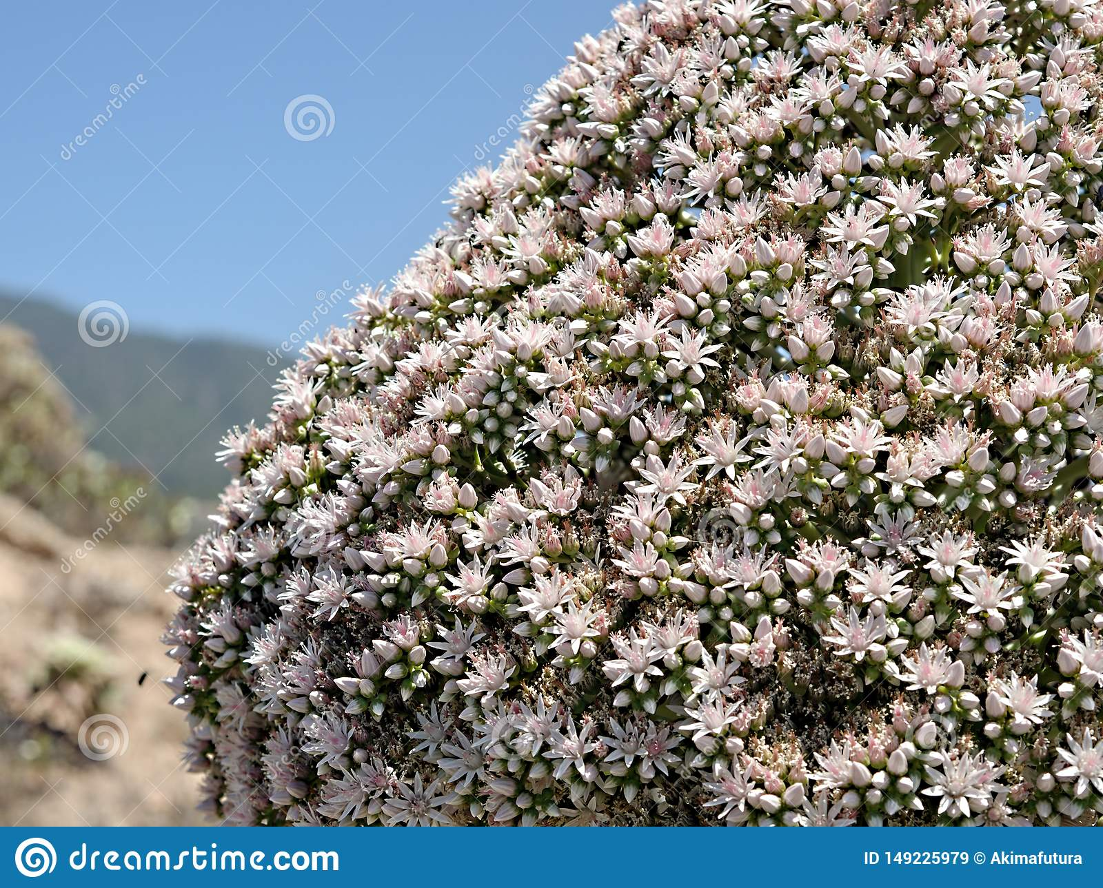 Left page detail, detail, from a verode, succulent species fully blossoming on Tenerife, Canary Island