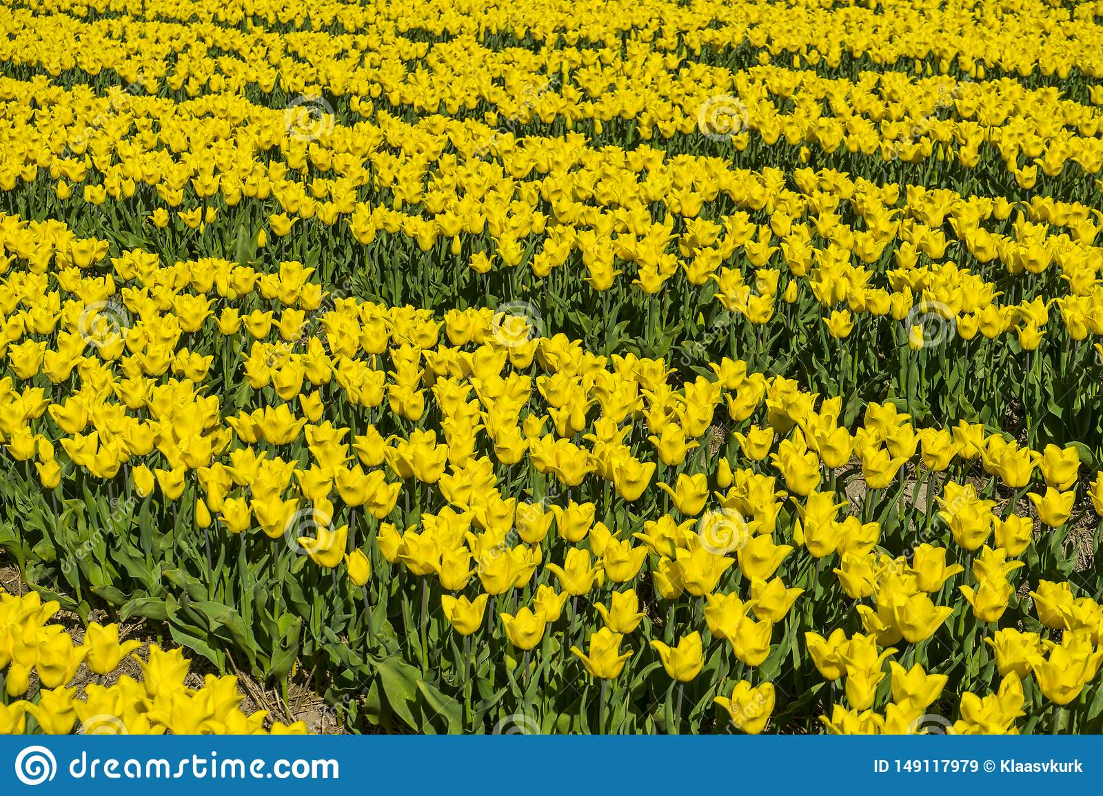 Left to right yellow and green dutch tulp field patern. Bright sunlight traditional holland tulp field from a farmer` s land.