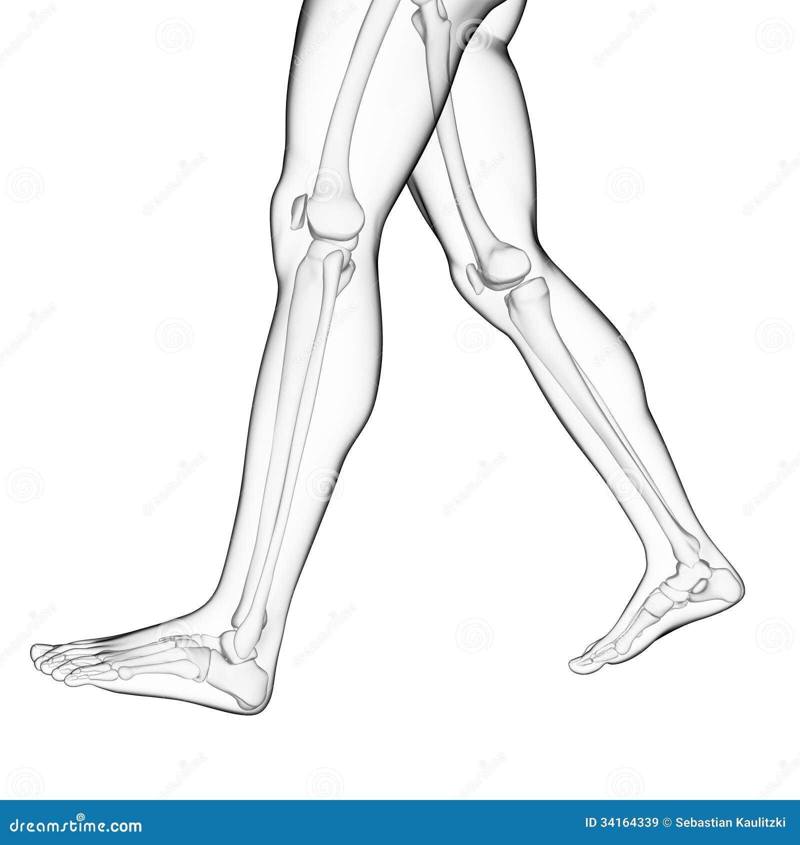 The Leg Bones Stock Illustration Illustration Of Skeleton 34164339