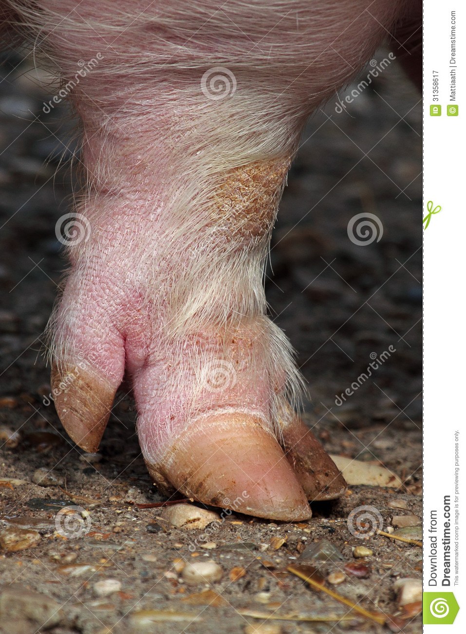 Leg And Hoof A Domestic Pig Royalty Free Stock Photography - Image ...