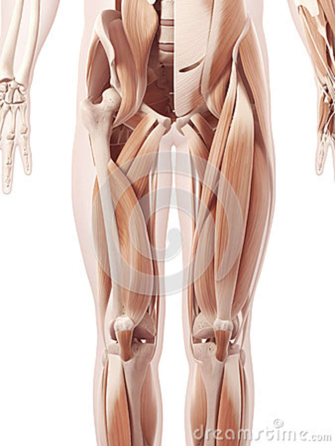 The Leg Muscles Stock Illustration Illustration Of Human 39791305