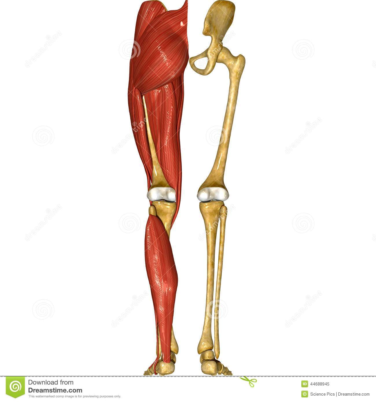 Leg Muscles Stock Illustration Illustration Of Legs 44688945