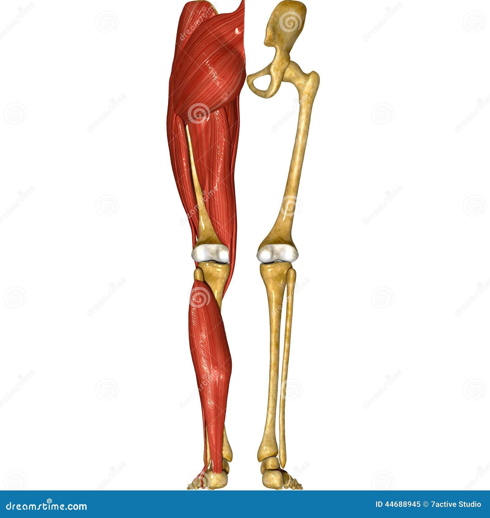 Leg Muscles Stock Illustration