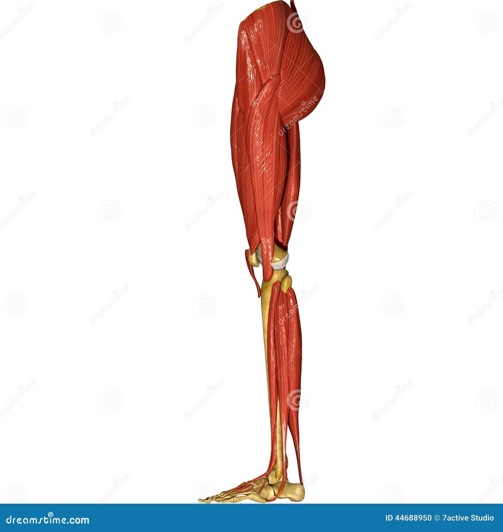 Leg Muscles Stock Illustration Illustration Of Femur 44688950