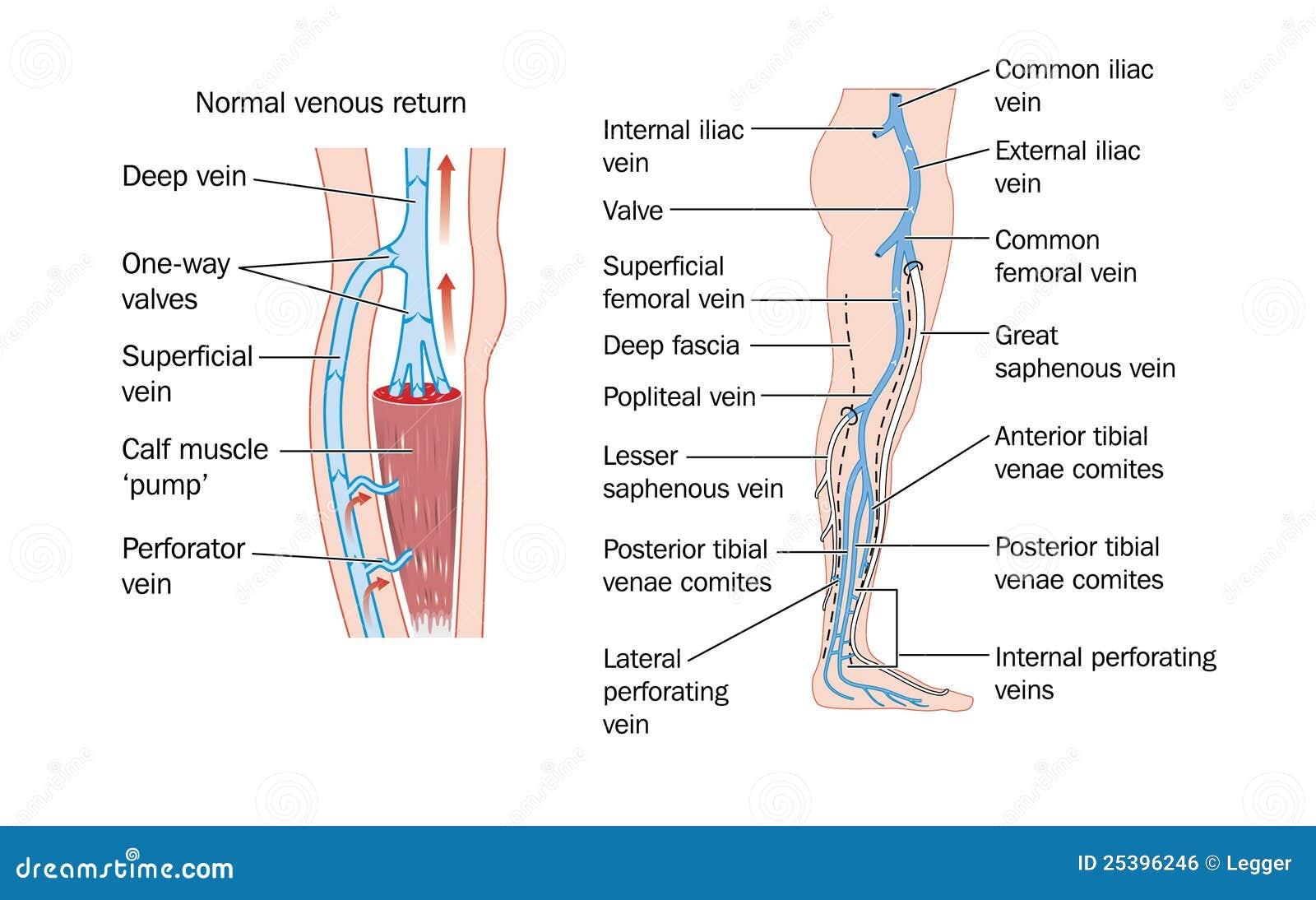 Leg veins stock vector. Illustration of femoral, drawing - 25396246