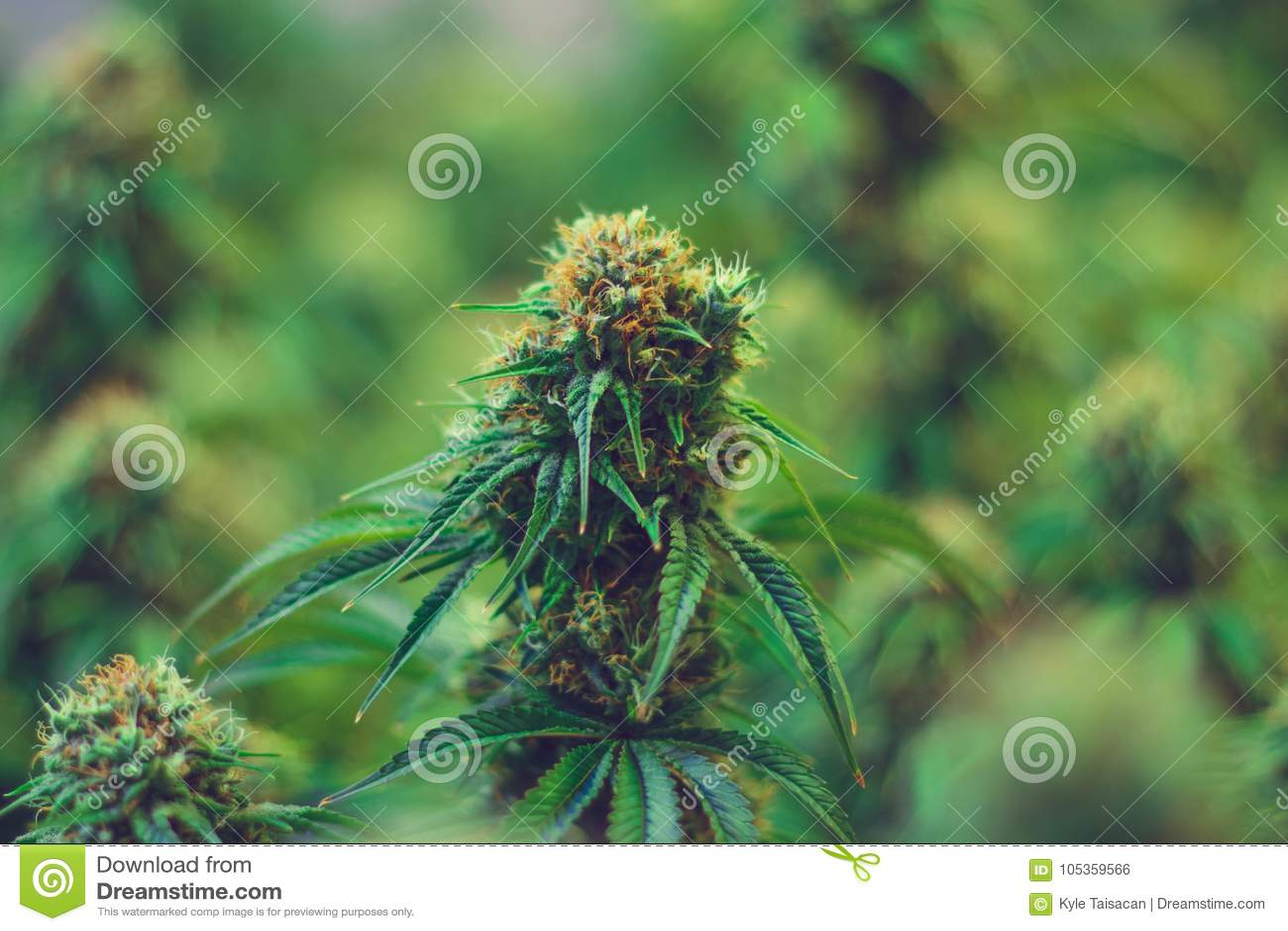 Legal marijuana agriculture for medicinal purposes