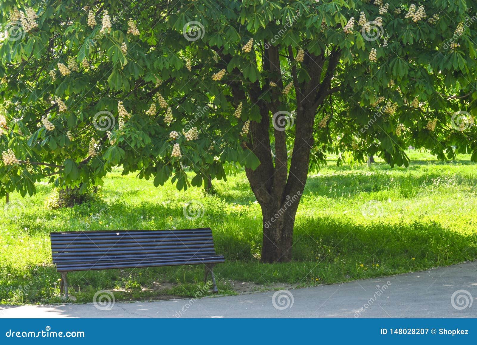 Lege houten bank onder de tot bloei komende kastanje in het centrale park in een zonnige de lentedag
