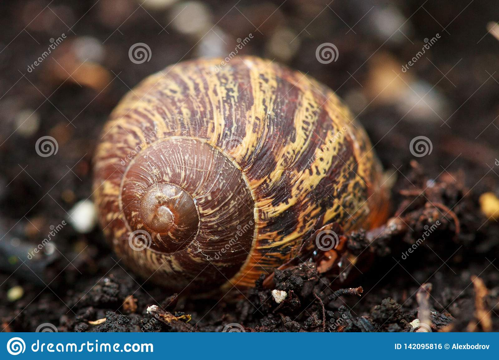 Lege shell Cornuaspersum