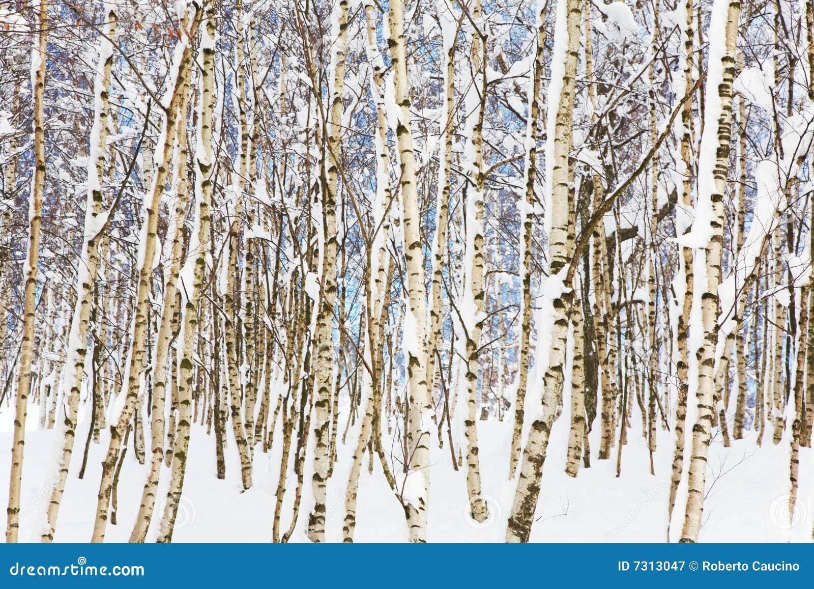 Legno dello Snowy